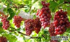 常吃葡萄好处多 保护肝脏、降低转氨酶含量